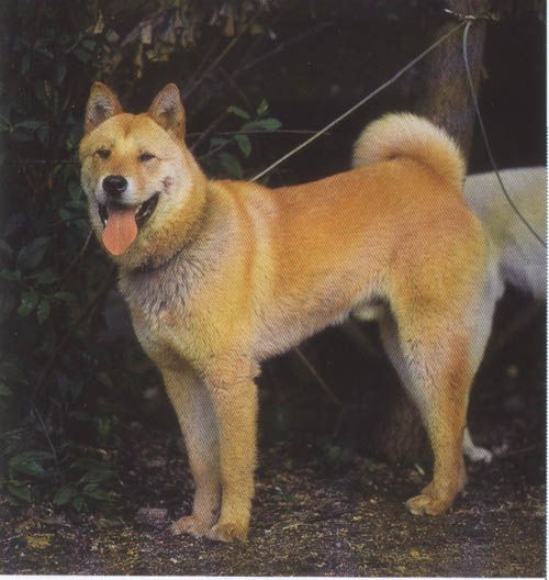 Akita Chow Akita X Chow Mix Dog Info Temperament Puppies