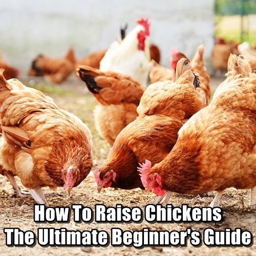 How Much Does It Really Cost To Raise Chickens Shtfpreparedness Raising Chickens Chickens Survival Food