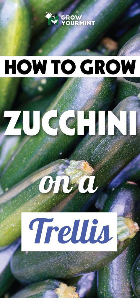 Up Up And Away – How To Grow Zucchini On A Trellis 400 x 300