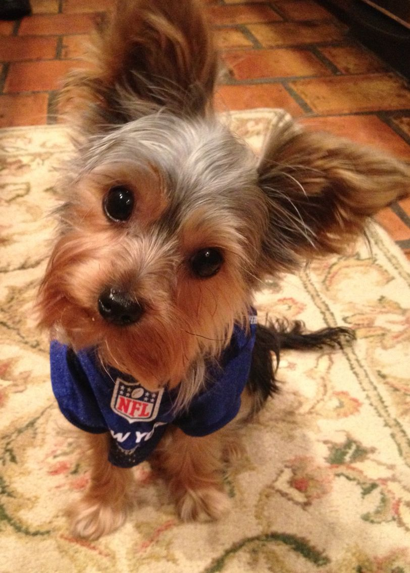 Stevie The Biggest New York Giants Fan Yorkie Yorkshire Terrier Puppies