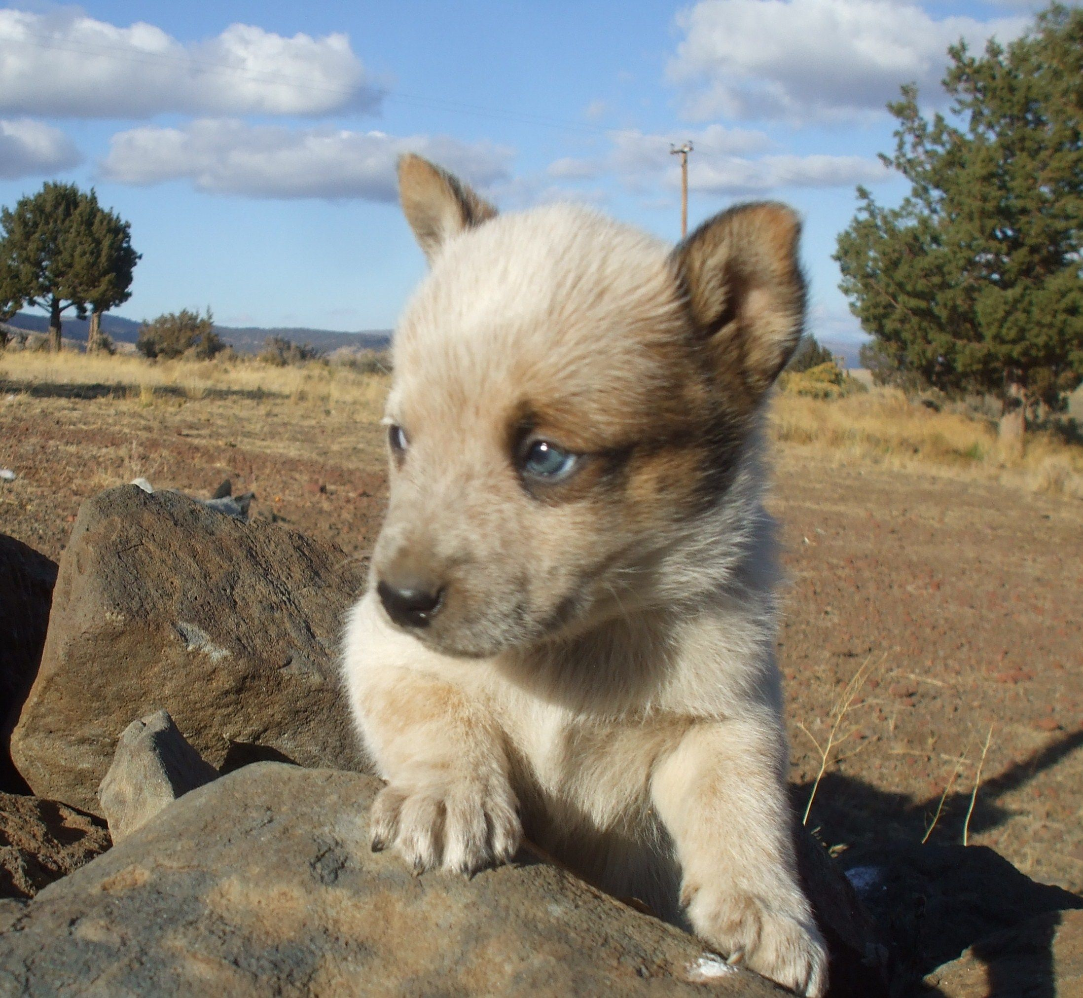 Red Heeler Puppy Love Me And My Baby Blue Eyes Blue Heeler