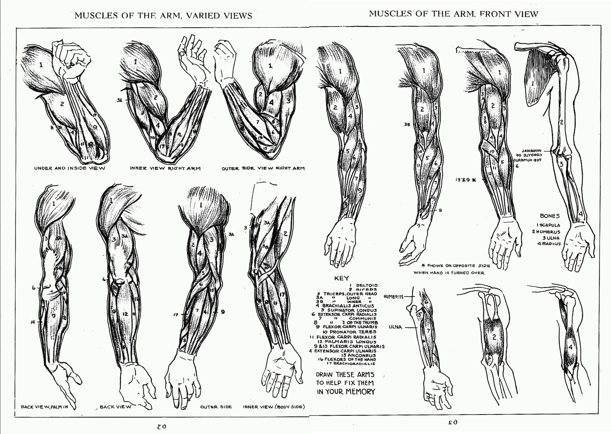 Andrew Loomis Left Arm Muscles | Anatomy | Pinterest | Arm muscles ...