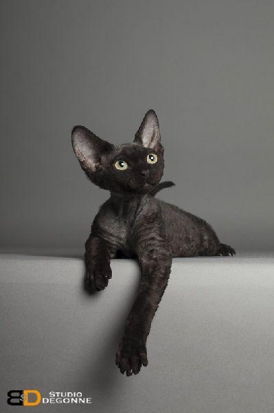 Devon rex mari janig des 3 ginkgo mon futur chat - Chaton devon rex ...
