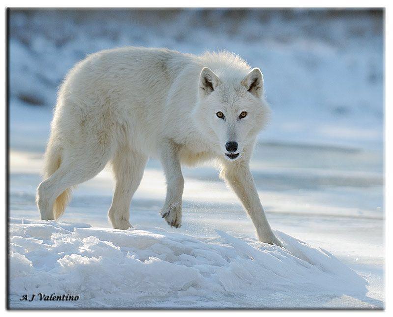 http://m3.i.pbase.com/o6/76/503576/1/73660403.ctjy7xEm.WolfArctic010WM.jpg