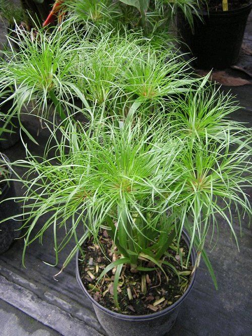 cyperus papyrus 39 king tut this dwarf giant papyrus grows. Black Bedroom Furniture Sets. Home Design Ideas