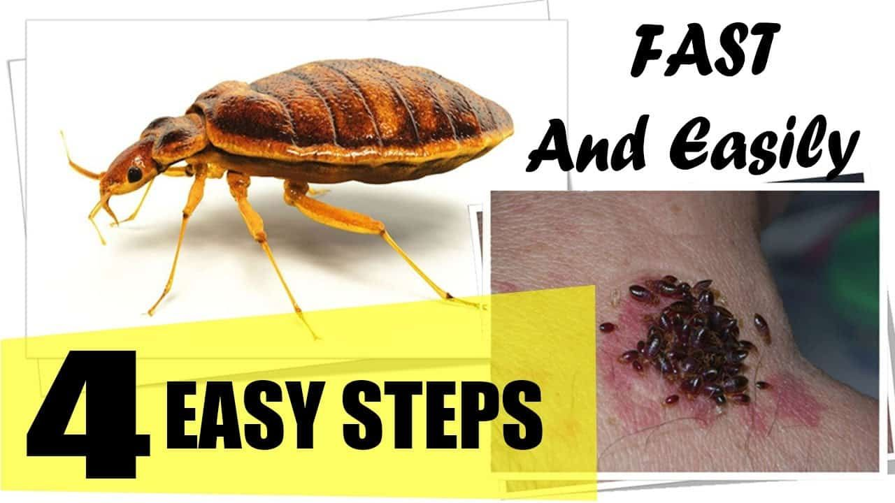 How to get rid of bed bugs rid of bed bugs bed bugs