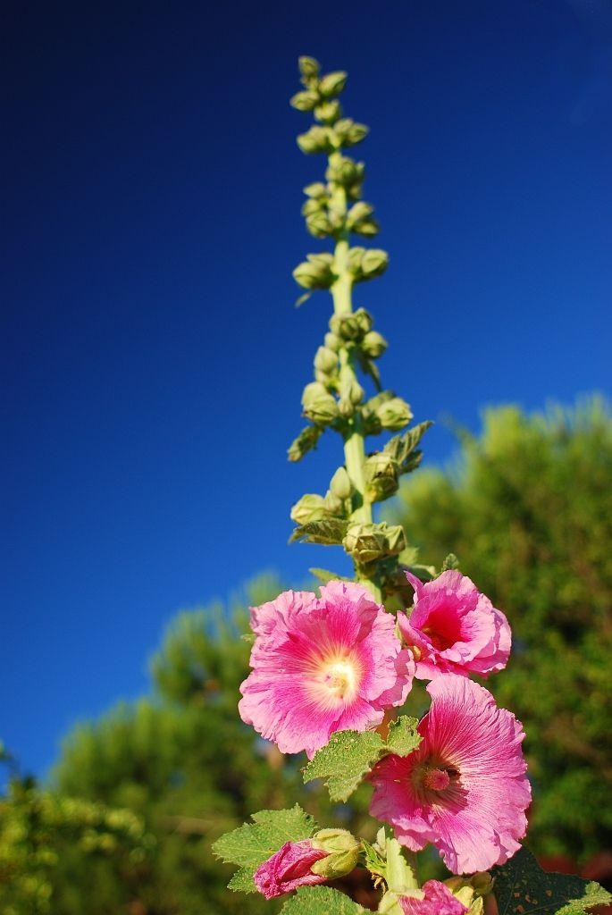 rose tr mi re fleurs plants nature roses. Black Bedroom Furniture Sets. Home Design Ideas