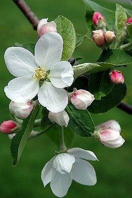 Fiori Bianchi Frutto.I Like This Flowersgardenlove Dogwood Blossoms Flowers