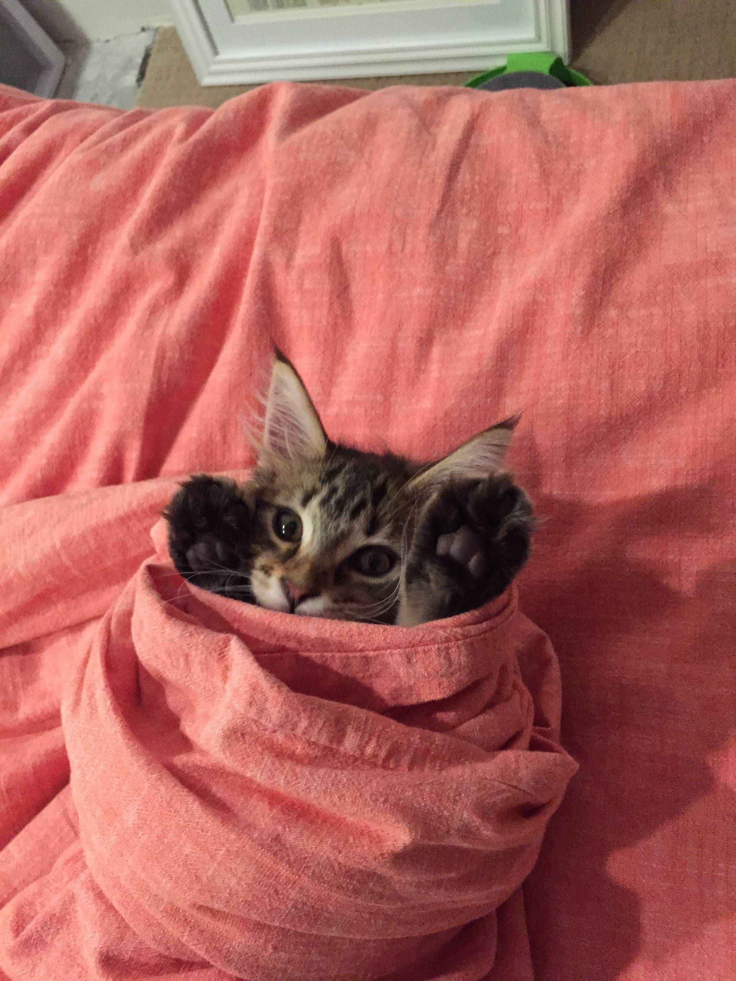 Kitten Burrito Imgur Kittens Cutest Cute Animals Animals
