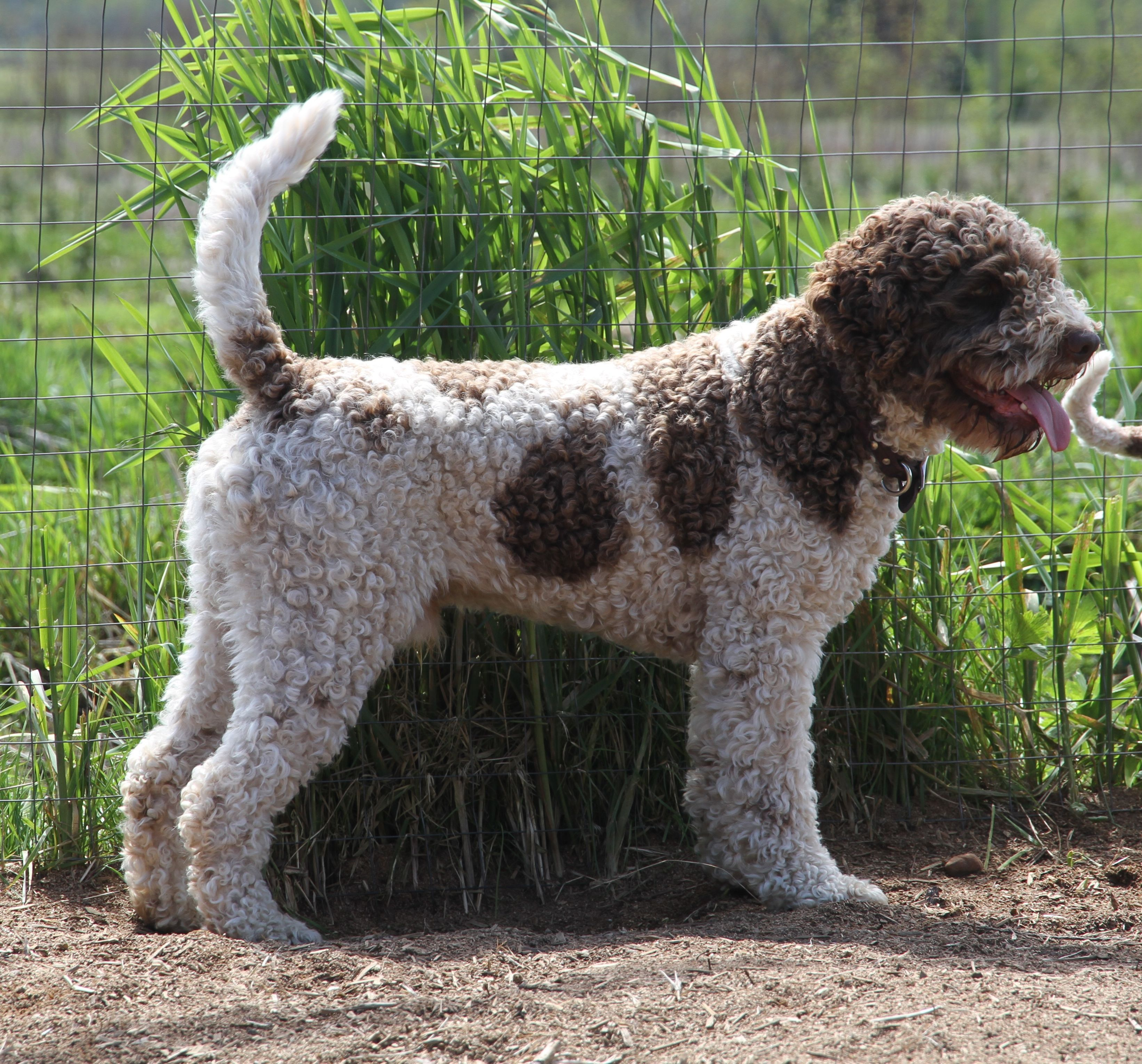 Ducketts At Their Home Lagotto Romagnolo Of Canada Lrc Dogcratecanada Lagotto Romagnolo Cheap Dog Toys Best Dog Toys