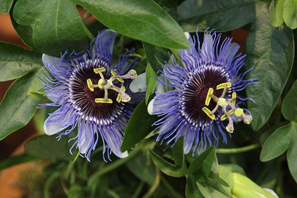 We Are Suppliers Of Quality Plants At Affordable Prices Grown In Our West Sussex Purple Passion Flower Passion Flower Blue And Purple Flowers
