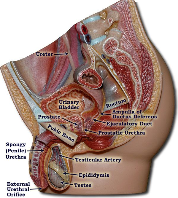 Male Reproductive System | General Anatomy | Pinterest