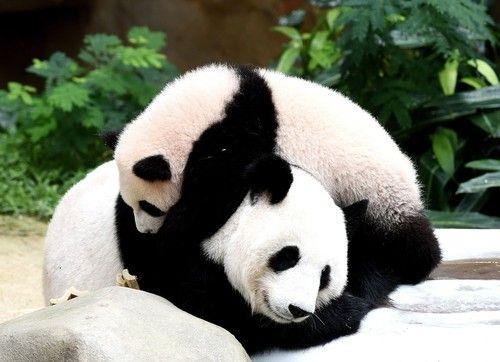 生後7か月のパンダ、早くも動物園の人気者 マレーシア