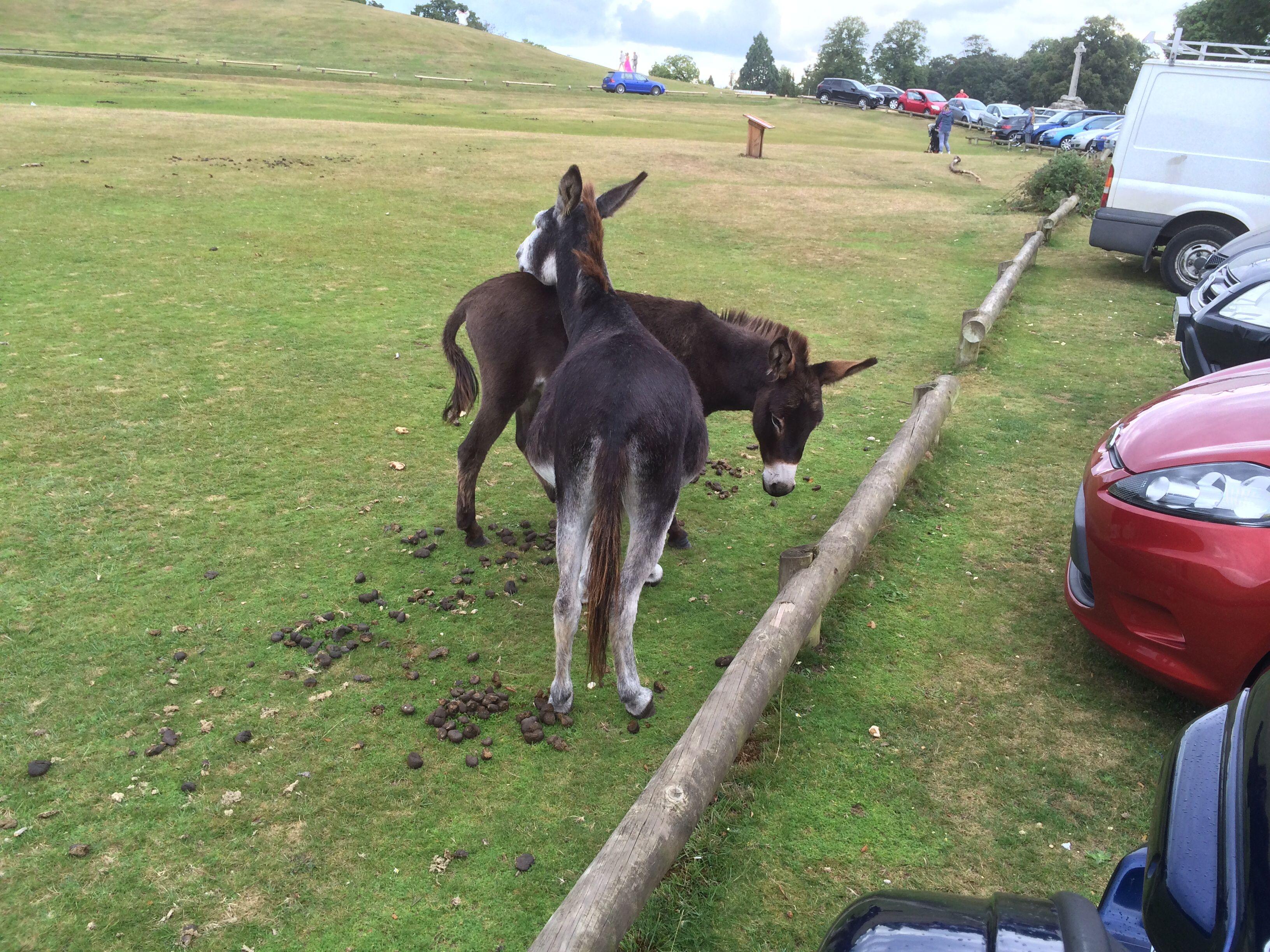 New Forrest - free donkeys