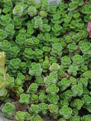 Sedum Spurium John Creech John Creech Stonecrop From Prides