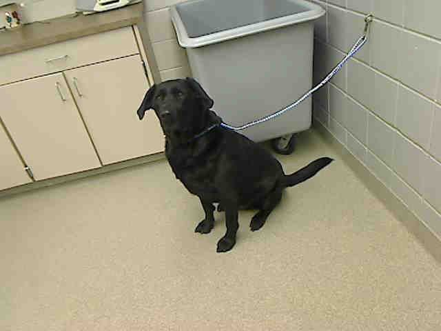 Duke Nebraska Humane Society Omaha Ne 7 Yr Neutered Lab Retriever