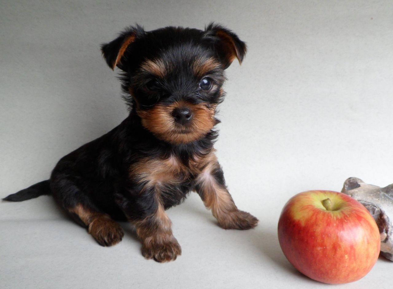Yorkie Yorkshire Terrier Poodle Toy Or Tea Cup Mix Puppy ...