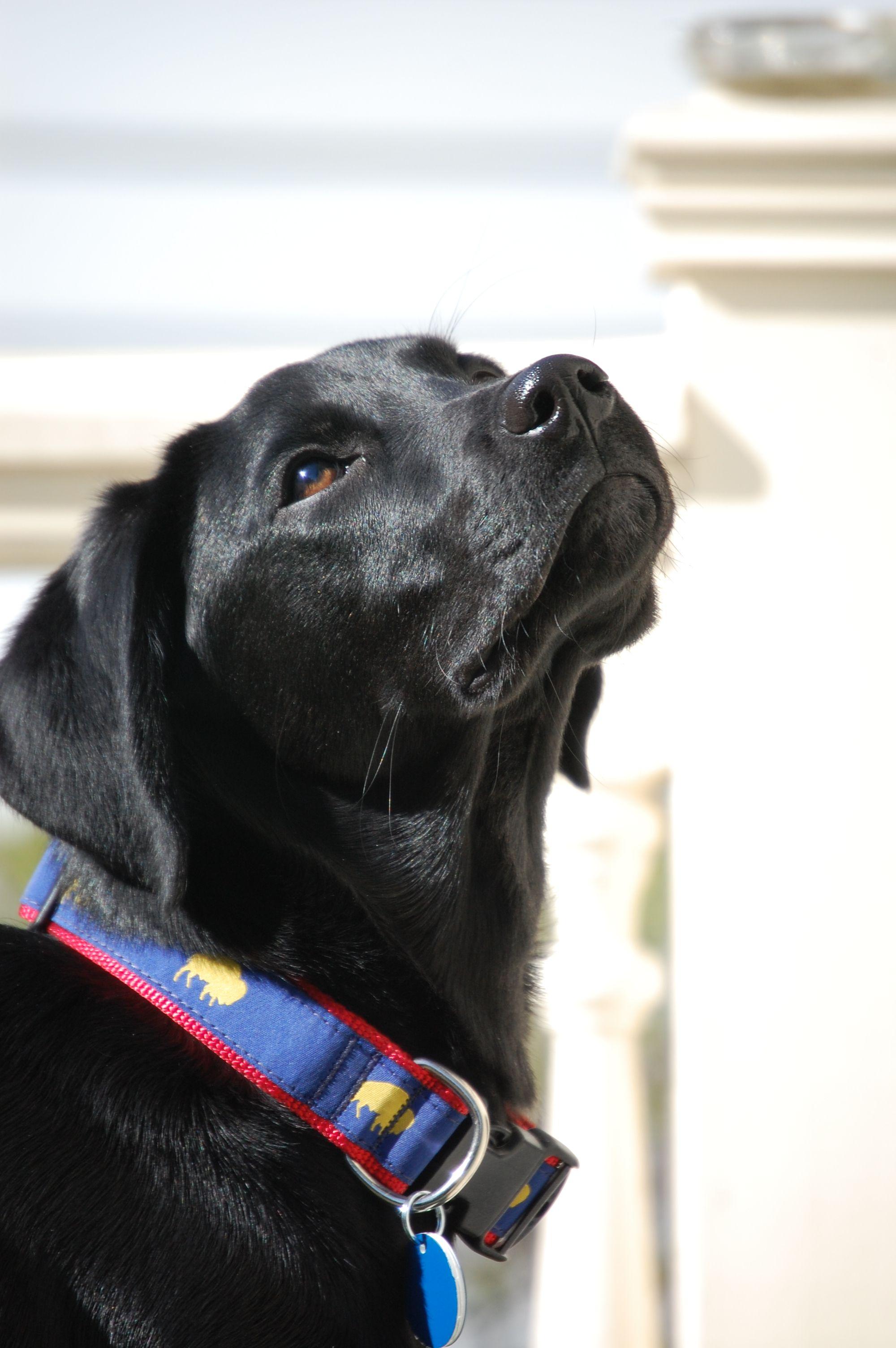 Glamour Shot Charlie April 2012 Diva Dogs Labrador Black Labrador