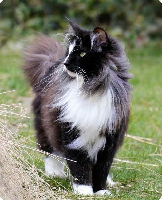 Fluffy Black And White Cat Wind Norwegian Forest Cat Pretty Cats Beautiful Cats