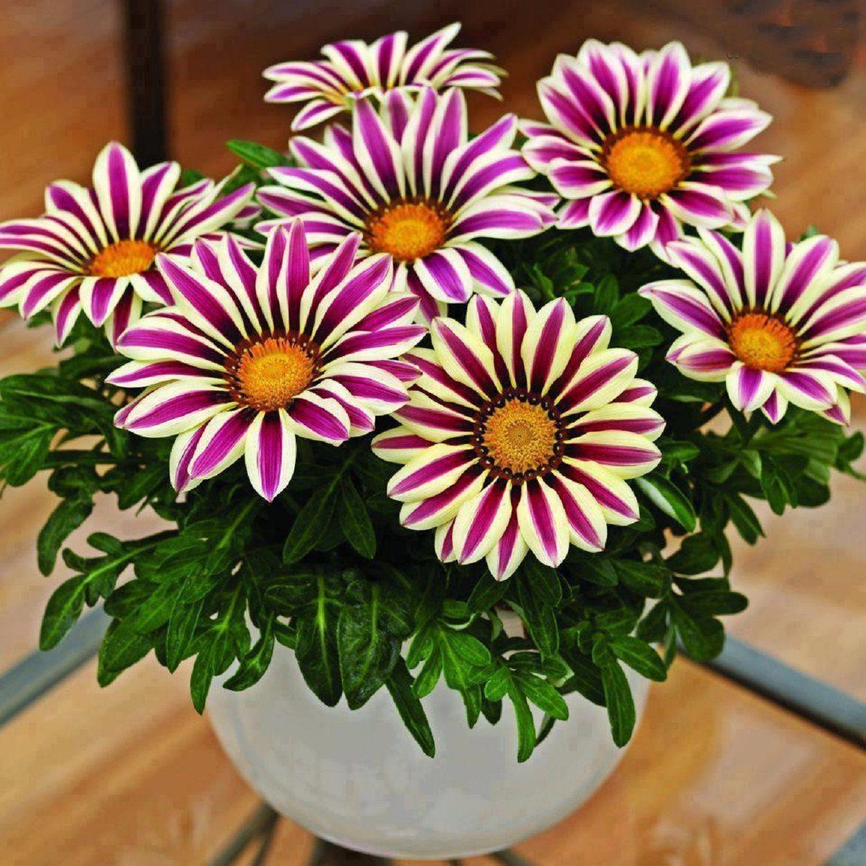 Gazania Seeds Big Kiss White Flame 25 Thru 500 Seeds F1 Hybrid Etsy In 2021 Flower Pots Garden Plant Pots Chrysanthemum Seeds