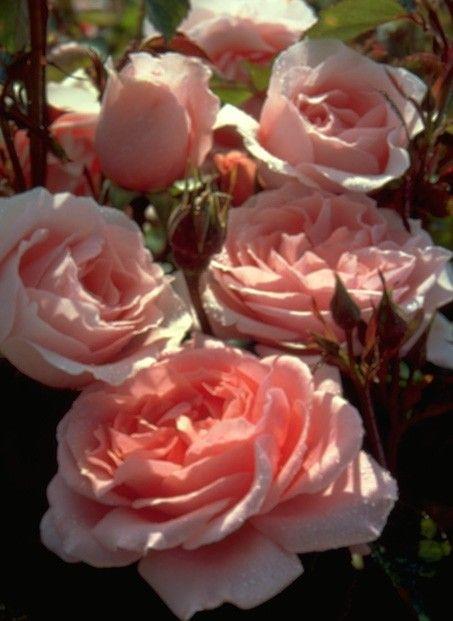 Pink Roses in Full Bloom