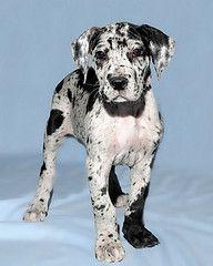 Adopt Cheva On Great Dane Puppy Dane Puppies Dogs Kids