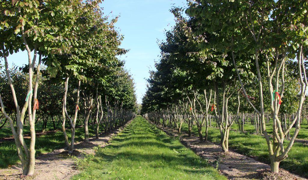 Boom Kleine Tuin : Parrotia persica tuin bomen kleine tuinen en tuinen