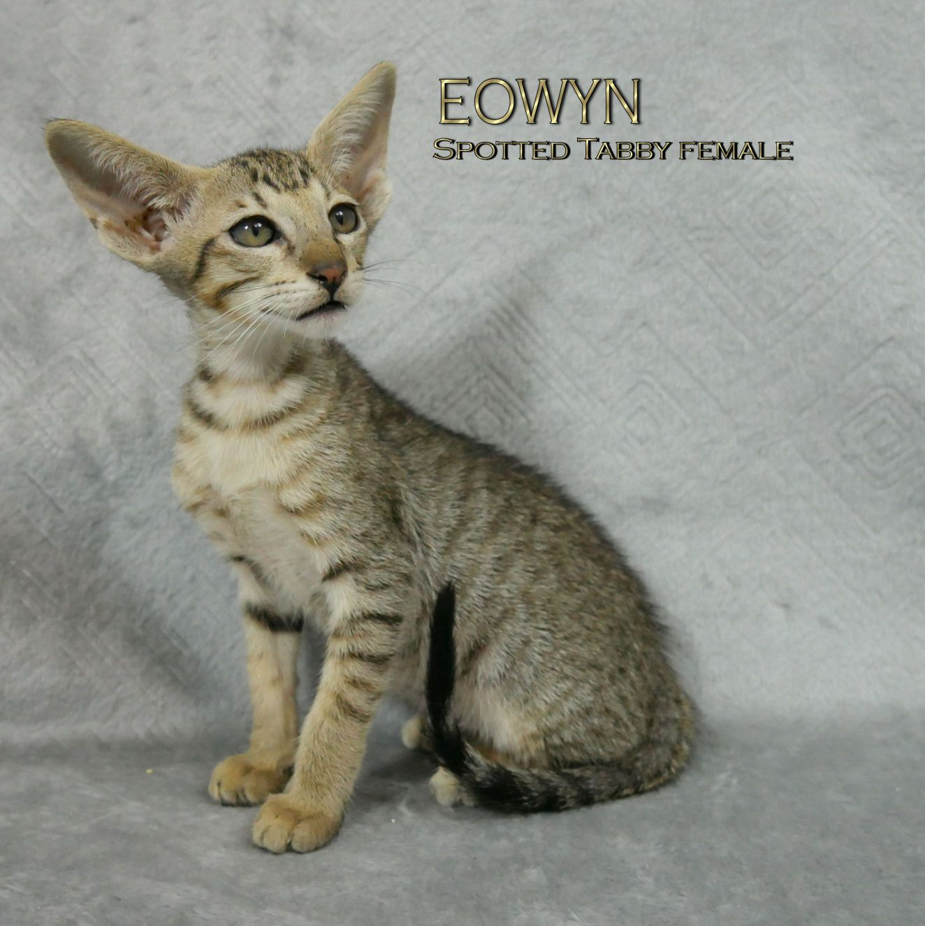 ORIENTAL SHORTHAIR KITTEN FOR SALE azorez@shaw.ca https://www ...