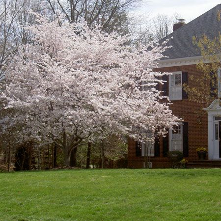 Pin By Nonope12 On Curb Appeal Flowering Cherry Tree Yoshino Cherry Tree Shade Trees