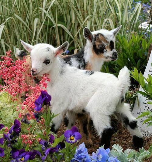 Baby goats into the garden
