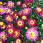 Our Argyranthemum's are looking really colourfull today