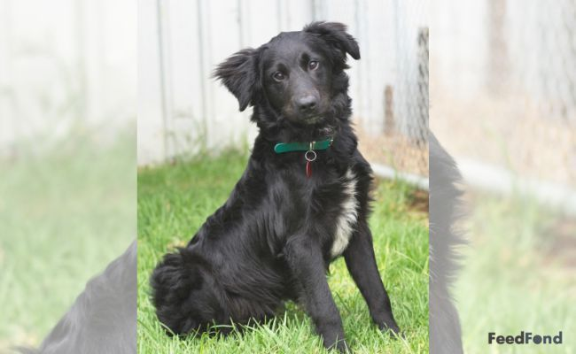 Terrific Snap Shots Border Collies Lab Popular The Actual Edge Collie Hails With The Borderlands Involving He Uk Border Collie Lab Mix Dog Breeds Border Collie