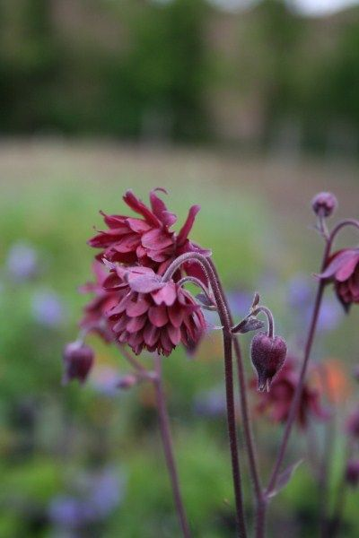Aquilegia 'Bordeaux Barlow' - one of my 6 main plants to flutter like butterflies.