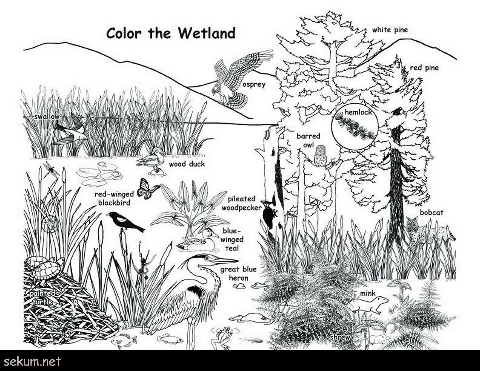 Wetland plants and animals coloring page Animal habitats