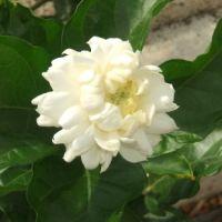 Jasminum spp. - varietà gran duca di toscana