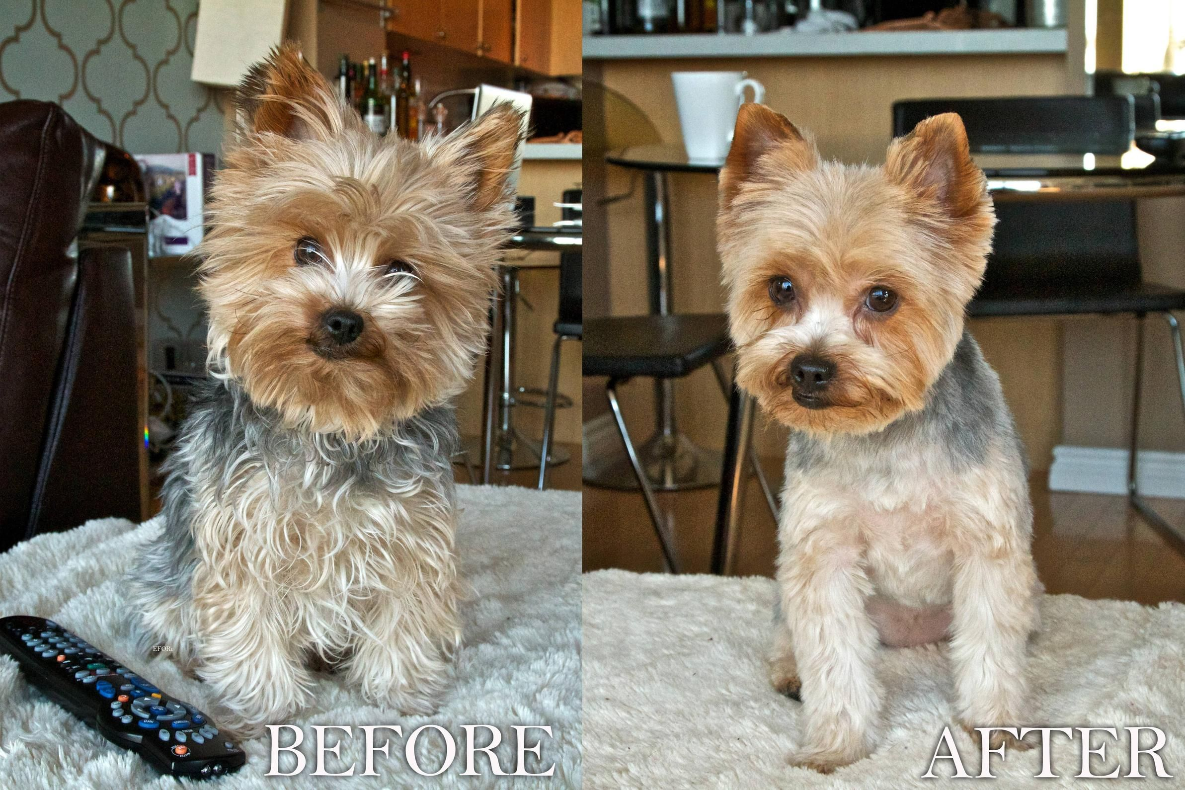 Yorkie puppy cut google search dogs pinterest yorkie puppy yorkie puppy cut google search dogs pinterest yorkie puppy yorkies and puppy face nvjuhfo Images