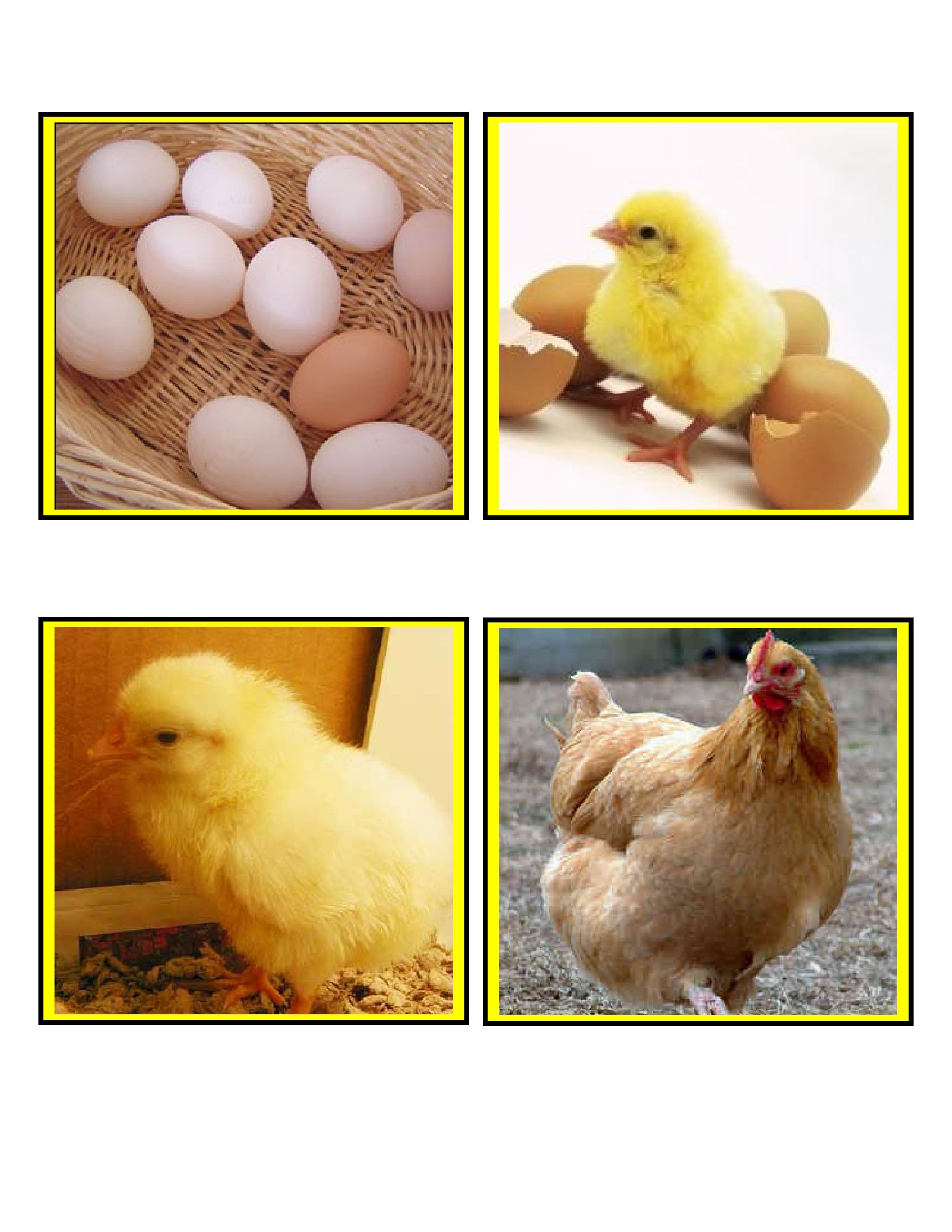 The Egg To Chicken Life Cycle Sequence Cards Teach Preschoolers