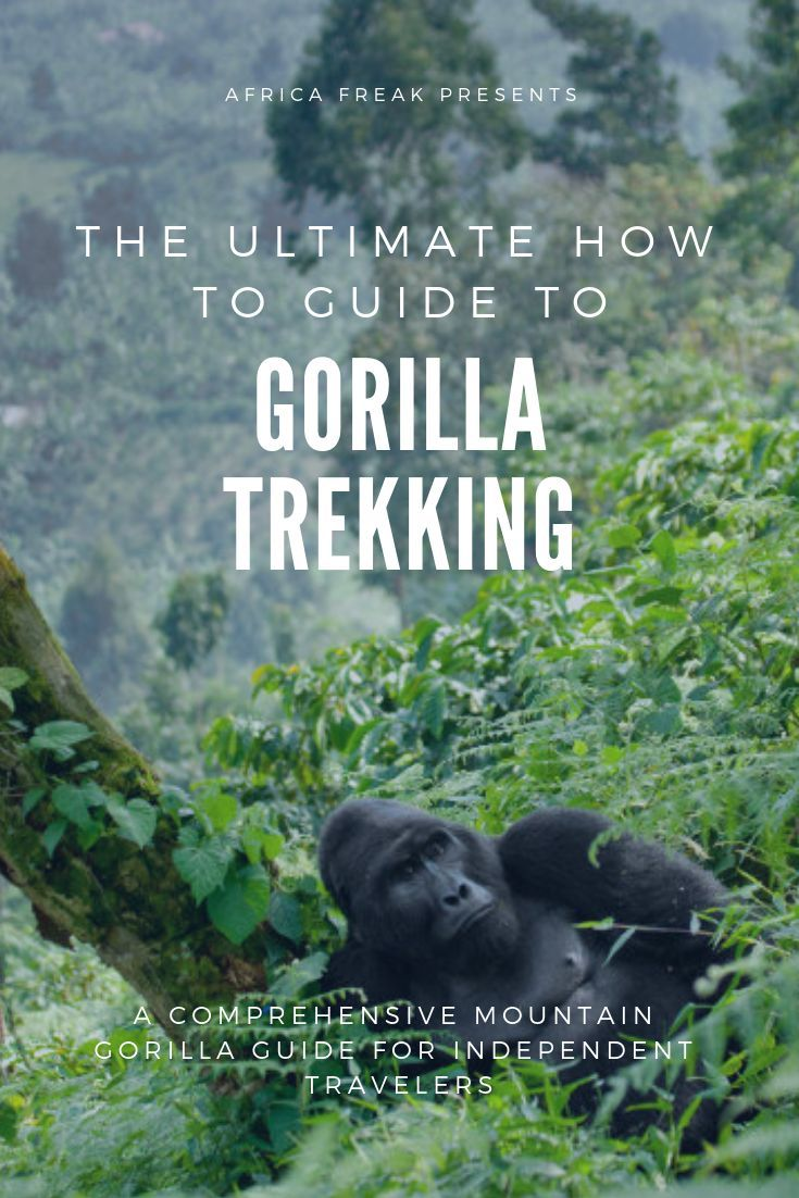 Mountain Gorilla Trekking Ultimate How To Guide is part of Mountain Gorilla Trekking Ultimate How To Guide Africa Freak - Ultimate mountain gorilla trekking guide for independent travelers  Uganda vs Rwanda what the experience is like; top tips; planning without a tour company