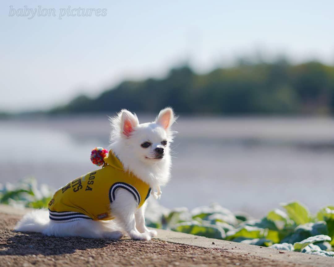 A tak wyglądają szczęśliwe psy chihuahua lovechihuahua