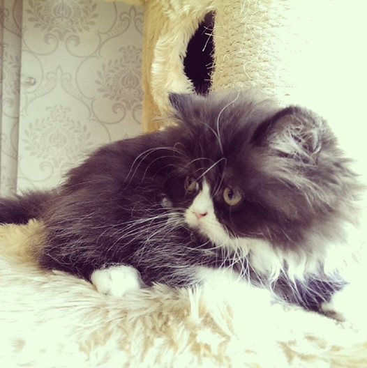 Breed Persian Gender Male Age 2 Months Vaccinated Yes Litter Trained Yes Litter Training Breeds Litter