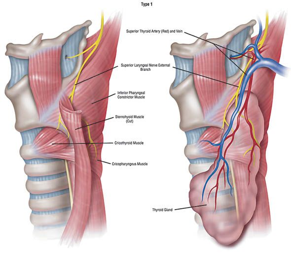 anatomy of larynx ppt - Pesquisa Google | Google | Pinterest | Thyroid