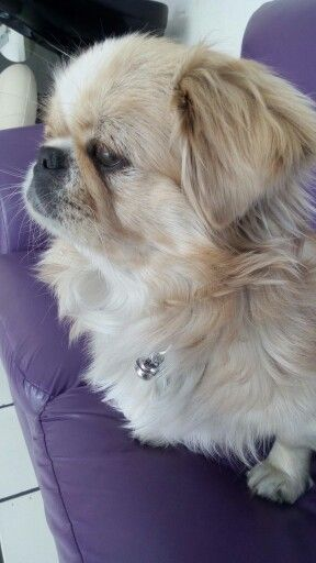 Pekingese Pug Puppies Pekingese Puppies Pekingese Dogs