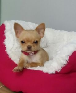 Bb Chihuahua Poils Semi Longs Laval North Shore Greater Montreal