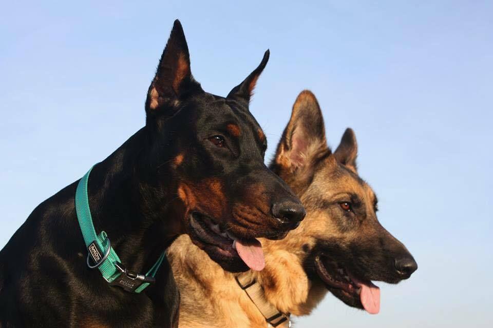 Doberman And German Shepherd Dogs Doberman Pincher Dog