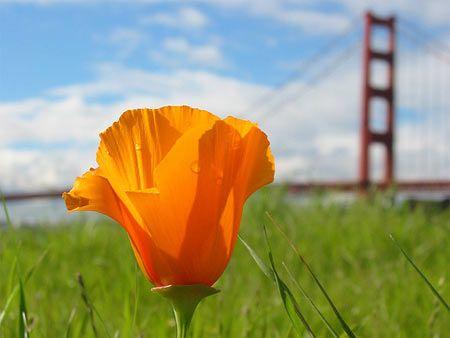 California state flower golden poppy remembering my youth california state flower golden poppy mightylinksfo Gallery