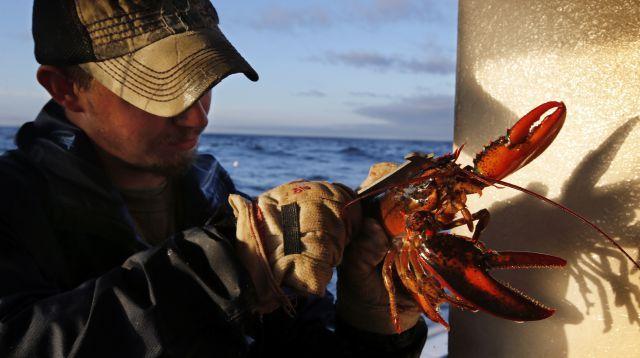 A Maine lobstermen measures his catch.