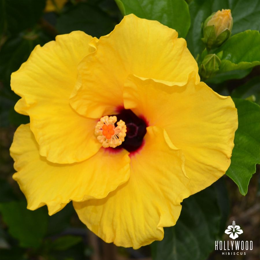 Queen Bee Creates A Buzz With Her Golden Yellow Petals And Deep Cherry Red Center Hibiscus Tropical Hollywood Hibiscus Planting Flowers Tropical