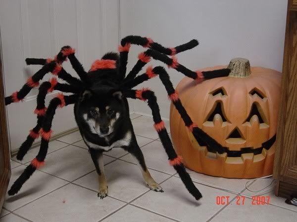 German Shepherd Spider Costume Video