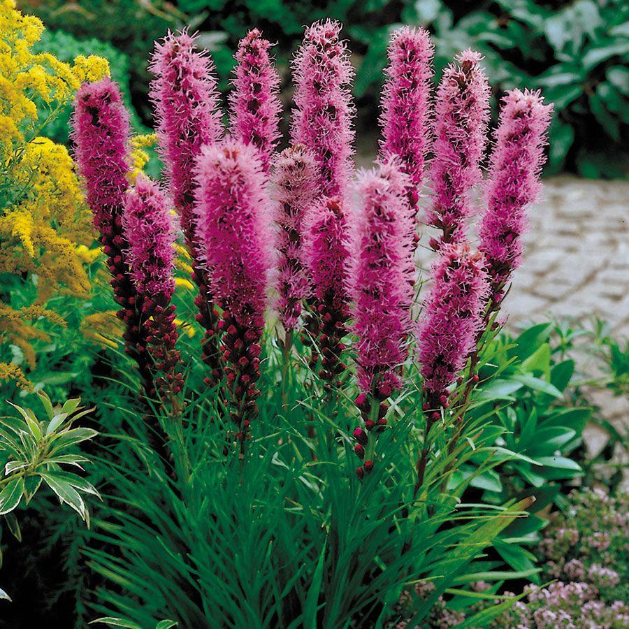 Kobold Original Blazing Star Blazing Star Flower Flowers Perennials Perennial Plants