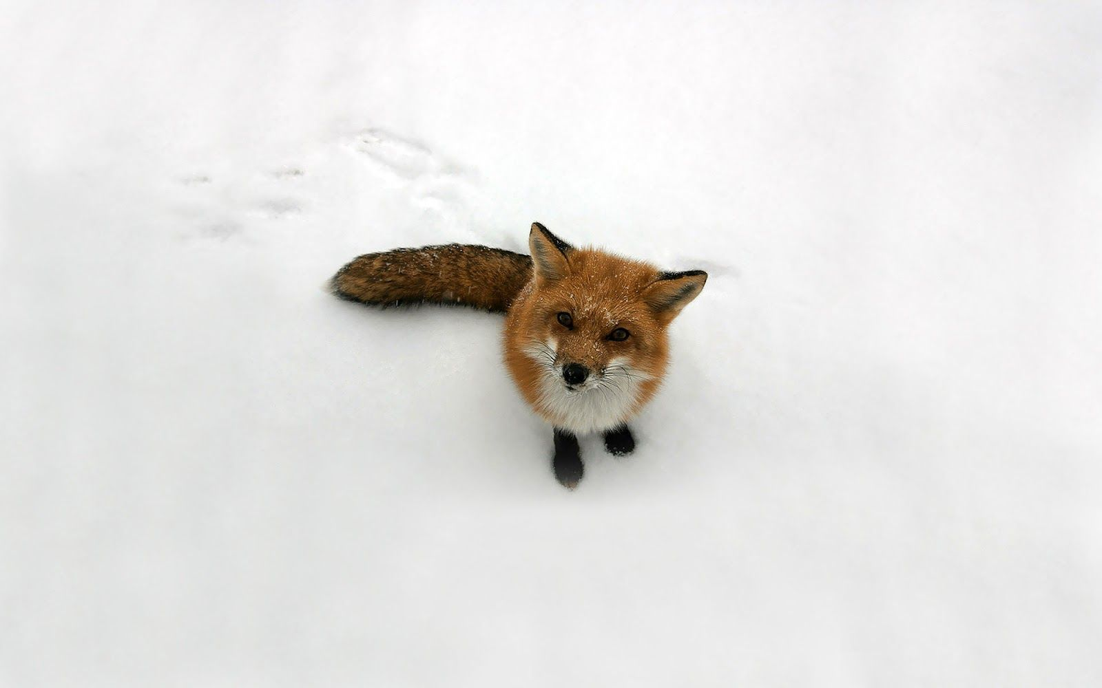 Little fox snow free wallpapers for download 3DHD